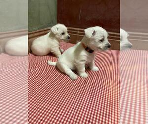 West Highland White Terrier Puppy for sale in MANHATTAN, NY, USA