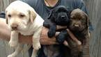 AKC Labrador Retriever Puppies for Sale