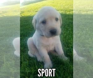 Labrador Retriever Puppy for Sale in CATO, New York USA