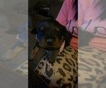 Small #1 Rottweiler
