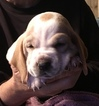 Basset Hound Puppy For Sale in ABSECON, NJ, USA