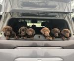 Labrador Retriever Puppy For Sale in WASILLA, AK, USA