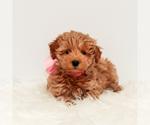 Puppy 4 Maltipoo
