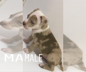 American Bully Puppy for Sale in LAKEWOOD, New Jersey USA