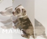 Xl XXL Merle American bully puppies for sale
