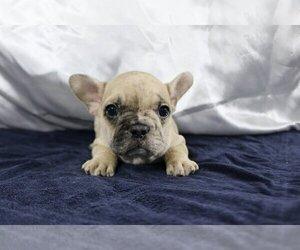 French Bulldog Dog for Adoption in MONTECITO, California USA
