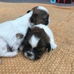Shih Tzu Puppy For Sale in SPARKS, NV, USA