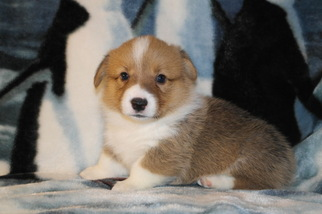 Pembroke Welsh Corgi Puppy For Sale in ATTALLA, AL