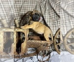 Puppy 8 Bullmastiff