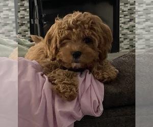 Cavapoo Puppy for sale in WARREN, MI, USA