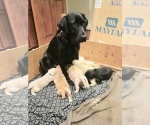 Labrador Retriever Puppy for Sale in LA CENTER, Washington USA