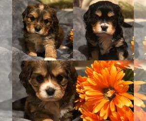 Australian Shepherd-Cavalier King Charles Spaniel Mix Puppy for sale in INDIANAPOLIS, IN, USA