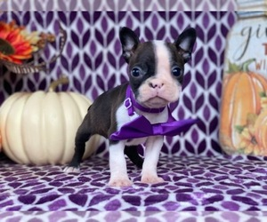 Boston Terrier Dog for Adoption in LANCASTER, Pennsylvania USA