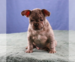Small Photo #1 French Bulldog Puppy For Sale in BROOKLYN, NY, USA