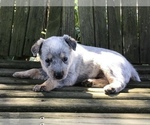 Puppy 7 Australian Cattle Dog