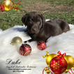 Labrador Retriever Puppy For Sale in HOUSTON, TX,
