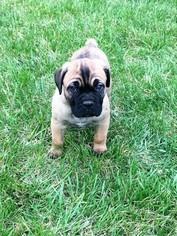 Cane Corso Puppy For Sale in WEST CHESTER, OH