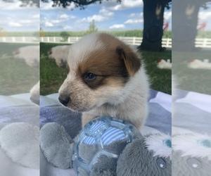 Australian Cattle Dog Puppy for sale in GOSHEN, IN, USA