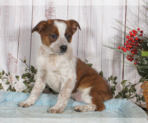 Boston Cattle Dog Puppy for sale in PENNS CREEK, PA, USA