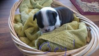 American Boston Bull Terrier Puppy For Sale in STOCKTON, MO, USA