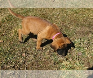 Mastiff Dog for Adoption in HOPKINSVILLE, Kentucky USA