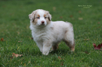 Australian Shepherd Puppy For Sale in MEDFORD, OR,