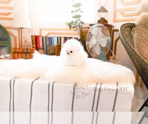 Medium Pomeranian