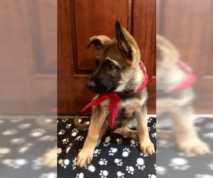German Shepherd Dog Puppy for Sale in HAMILTON, New Jersey USA