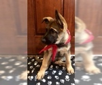 German Shepherd Dog Puppy For Sale in HAMILTON, NJ, USA