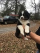 Australian Shepherd Puppy For Sale in FAIRVIEW, TN, USA