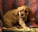 Puppy 4 Cavalier King Charles Spaniel