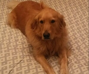 Golden Retriever Dogs for adoption in BAYSIDE, WI, USA