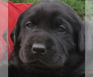 Labrador Retriever Puppy for Sale in FAIR OAKS, California USA