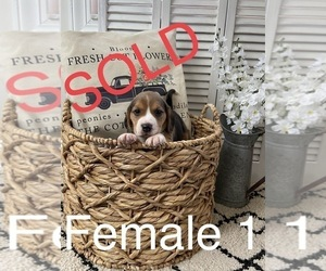 Beagle Puppy for sale in BRYCEVILLE, FL, USA