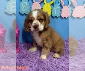 Cocker Spaniel Puppy for sale in DURANT, OK, USA