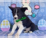 Small Photo #3 Border Sheepdog Puppy For Sale in LANCASTER, PA, USA