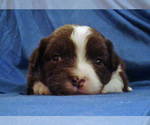 Puppy 8 Miniature Australian Shepherd