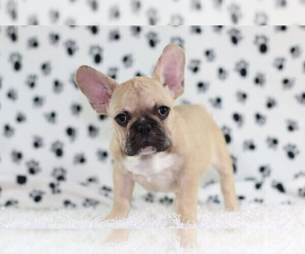 Medium Photo #4 French Bulldog Puppy For Sale in SOUTH LAKE, TX, USA