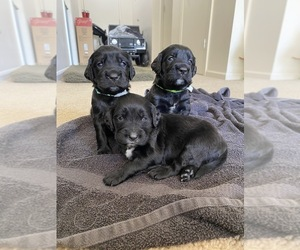 Spangold Retriever Puppy for sale in FORT RUCKER, AL, USA