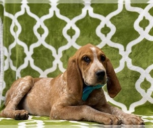 Coonhound Puppy for sale in LANCASTER, PA, USA