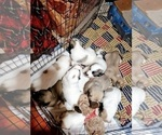 Small #599 Anatolian Shepherd-Maremma Sheepdog Mix