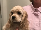 Cocker Spaniel Puppy For Sale in LAKELAND, FL, USA