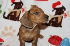 Dachshund Puppy For Sale in KINGSLAND, TX, USA