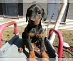 Doberman Pinscher Puppy For Sale in HUDSON, MI, USA
