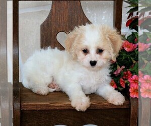 Cavachon Puppy for Sale in GORDONVILLE, Pennsylvania USA