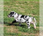 Small #4 Great Dane