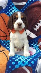 English Springer Spaniel Puppy for sale in EDEN, PA, USA