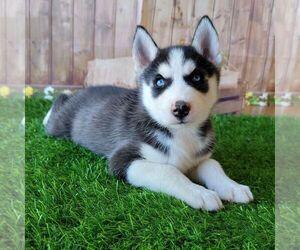 Siberian Husky Puppy for sale in ARTHUR, IL, USA