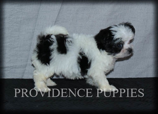 Havanese Puppy for sale in COPPOCK, IA, USA