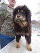 Tibetan Mastiff Puppy For Sale in GALVA, IL